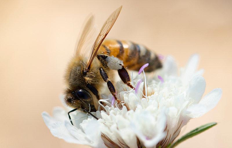 Honigbiene auf einer Blüte